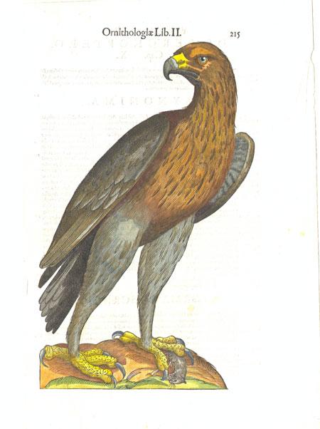 Aldrovandi – Beautiful Woodblock of a Bird of Prey – Page 215
