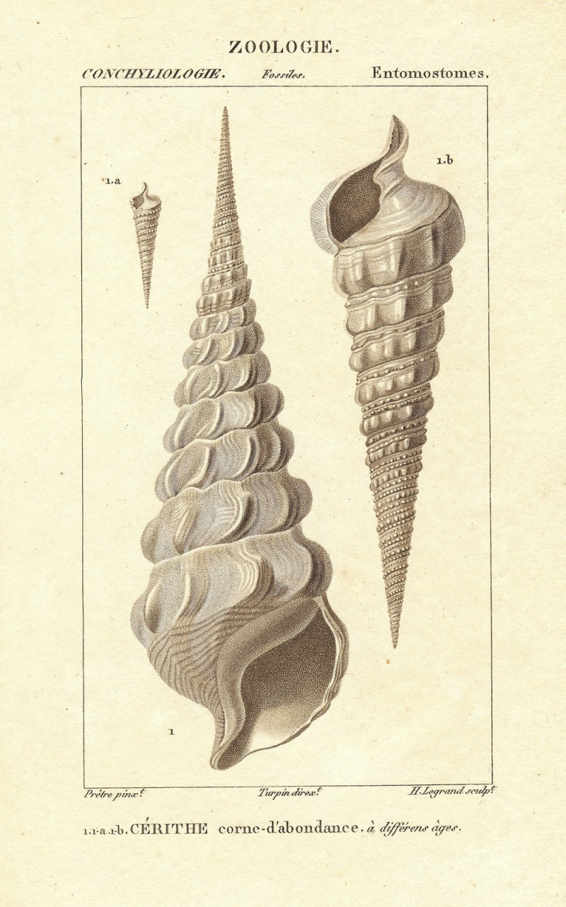 Cerith Seashells