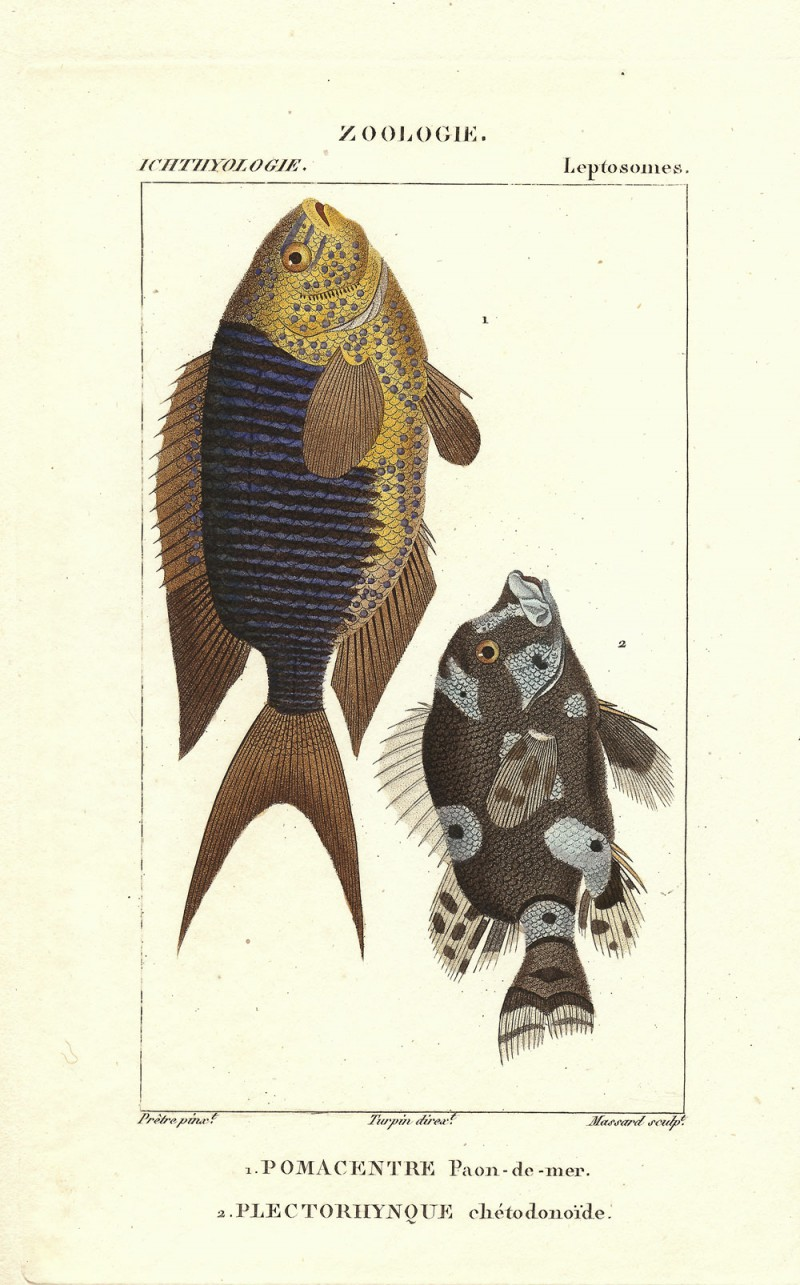 Turpin-Pomacentrus