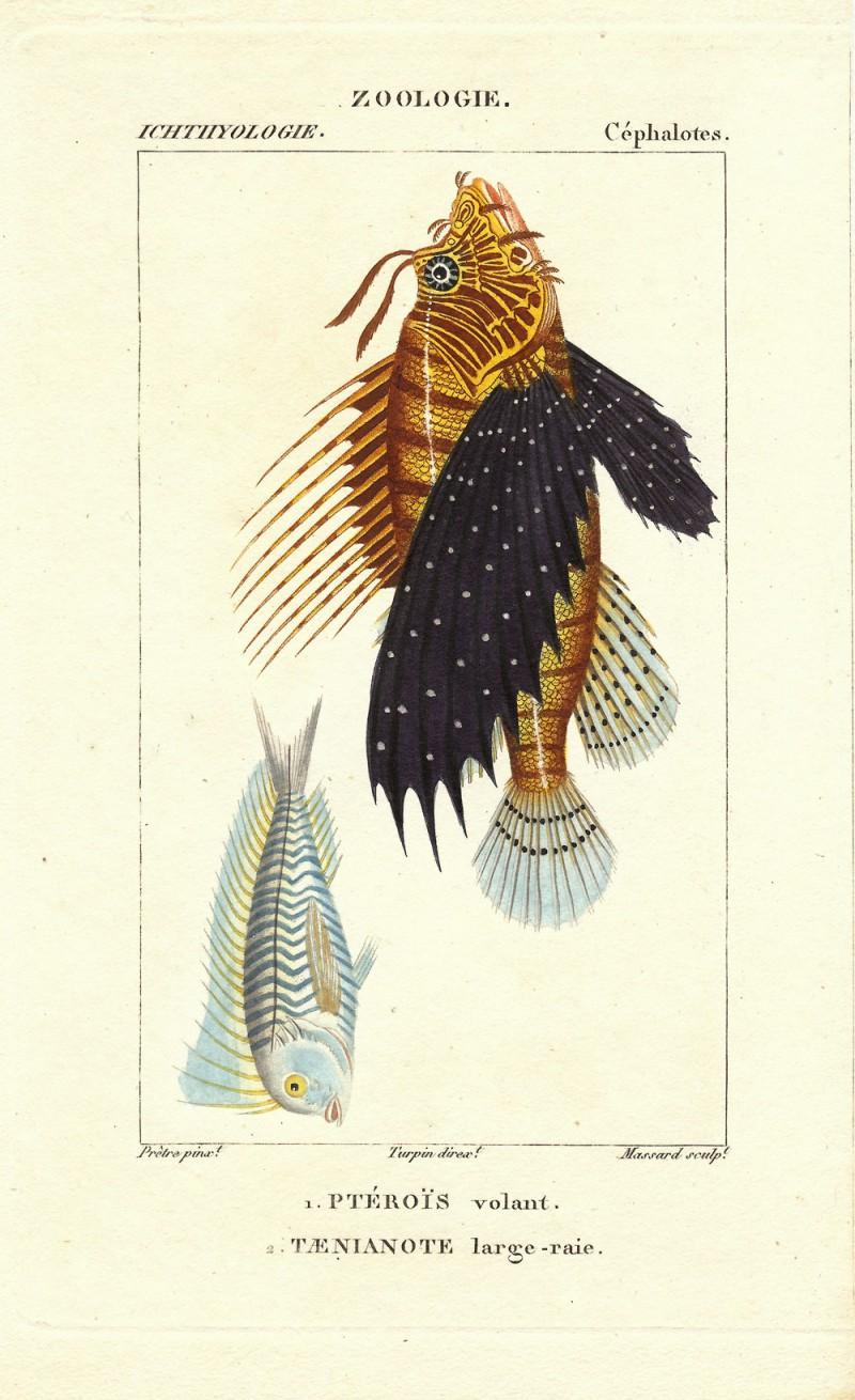 Turpin-Pterois