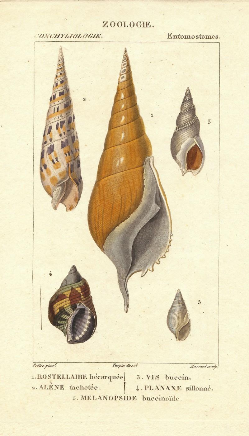 Turpin-Seashells1