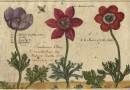 Crispijn Van De Passe – Hortus Floridus – Anemones
