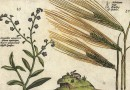 Crispijn van de Passe  – Rabbit, Barley, Pimpernel