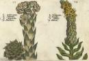 Crispijn Van De Passe – Sempervivum and Verbascum