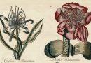 "Sir John Hill Antique Botanical Engraving from the 1757 Work ""Eden"""