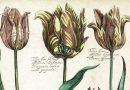 Daniel Rabel – 17th Century Botanical Engraving of Tulips