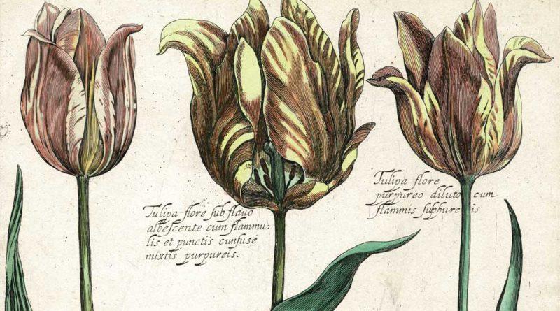 Daniel Rabel – 17th Century Botanical Engraving of Tulips – Village Antiques