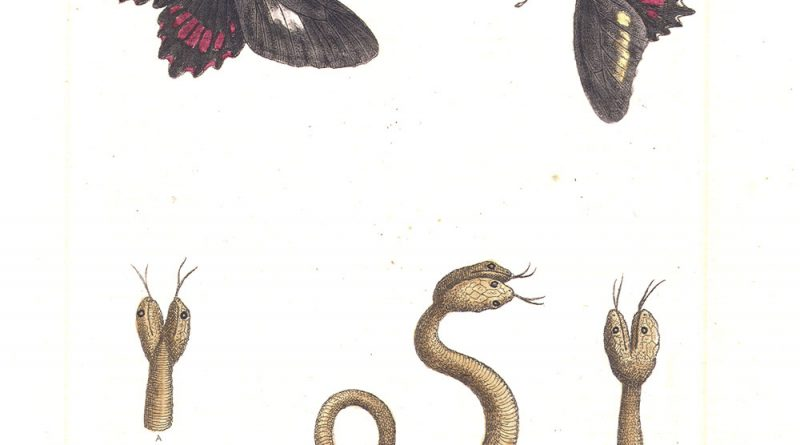 Two Headed Snake - Edwards