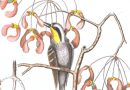 Yellow Throated Warbler and Red Maple – J. M. Seligmann After Mark Catesby