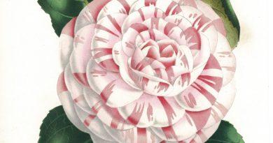 Camellia Countess of Derby – Van Houtte Flore des Serres et des Jardins