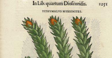Renaissance Herbal Illustration – Myrtle Spurge, Donkey's Tail – Mattioli