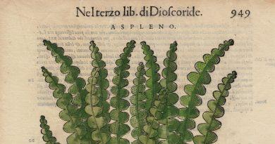 Renaissance Herbal Illustration – Aspleno Fern – Mattioli
